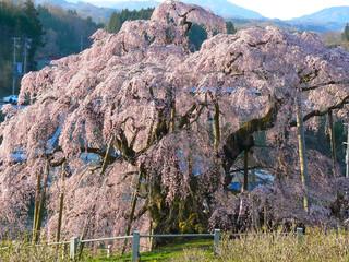 福島県三春滝桜.JPG