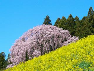 福島県二本松合戦場の桜.JPG