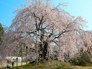 長野県飯田舞台桜.JPG